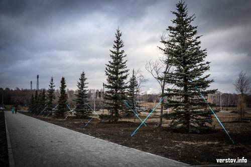 «Жителям города нравится хвоя». До конца ноября в городе высадят порядка 500 деревьев