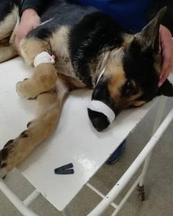 Смотрит на порог и кого-то ждет. Неравнодушная горожанка спасла жизнь псу, которого сбил автомобиль