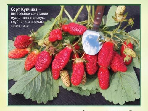 С 10 апреля открытие ярмарки-продажи саженцев. Земклуника «Купчиха» – ягода из сказки