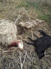 Чупакабра или волк? Массовое уничтожение домашних питомцев пугает жителей поселка Крылова
