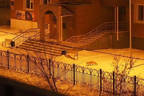 Пушистая гостья. В Магнитогорске на территорию детского сада забрела лиса