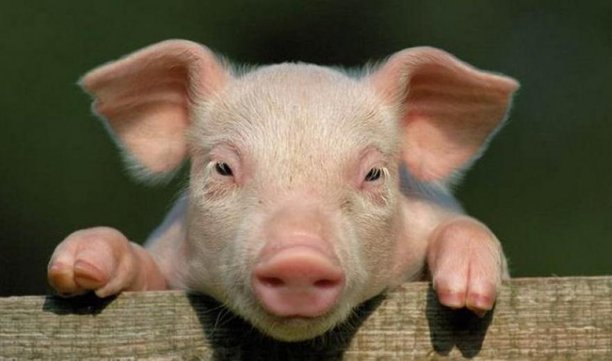 Снотворное для свиней и поросят: как поставить укол свинье?