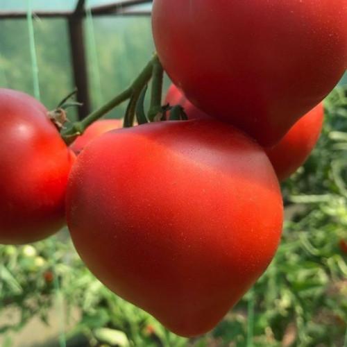 Его ждали и он пришел. Высокоурожайный, крупноплодный, ультраранний гибрид томата «Примо Ред»!