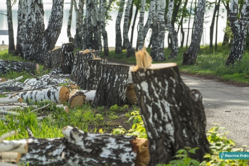 Не только ели, но и клёны, ясени и рябины. В парке У Вечного огня на месте срубленных берёз высадят новые деревья