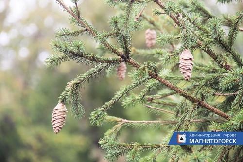 Пациент скорее жив. В Магнитогорске специалисты устроили профосмотр молодым деревцам