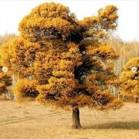Они были уникальным явлением природы. Кужановские лиственницы спилили неизвестные
