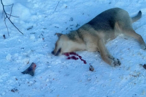 Выжил только Мухтар. В Магнитогорске садовый сторож расстрелял пять собак, находившихся на передержке