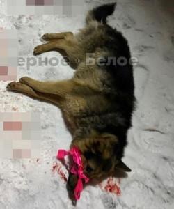 Настоящий изверг. В Магнитогорске неизвестный выбросил пса из окна многоэтажки