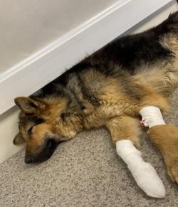 Спасли и дали имя. Выжившей после падения из окна многоэтажки собаке ищут любящего хозяина
